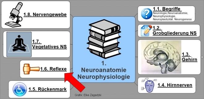 1.6.NeuroAnatomiePhysiologie Reflexe